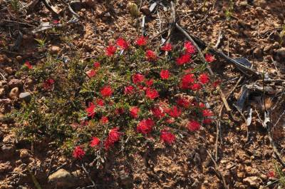 b2ap3_thumbnail_2456-Wildflowers-in-the-Stirling-Ranges.JPG